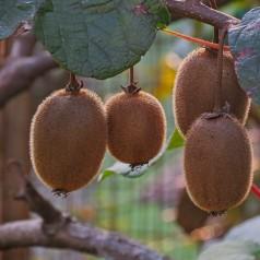 Kiwi Boskoop - Actinidia chinensis Boskoop