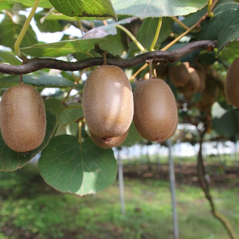 Kiwi Jenny - Actinidia chinensis Jenny