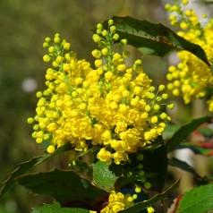 Mahonia aquifolium Apollo / Mahonie