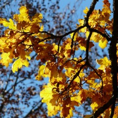 Vintereg, Quercus petraea