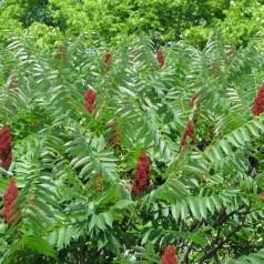 Rhus typhina - Hjortetaktræ