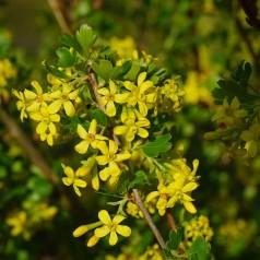 Ribes aureum / odoratum - Guldribs