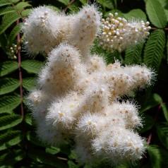 Sorbaria sorbifolia - Tusindtop