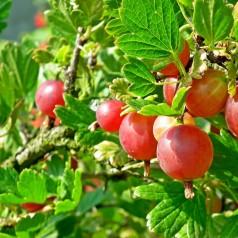 Stikkelsbærbusk Captivator
