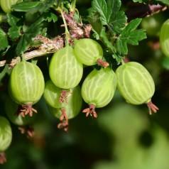 Stikkelsbærbusk Hinnonmäki Grøn