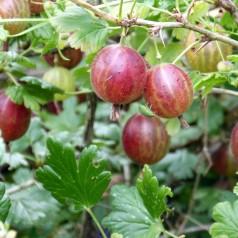 Stikkelsbærbusk Hinnonmäki Rød