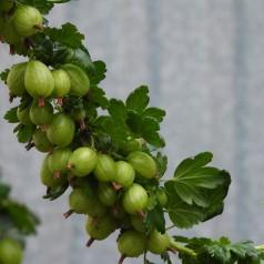 Stikkelsbærbuske Invicta