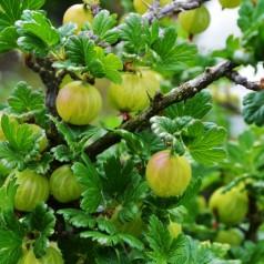 Stikkelsbærbusk Lady Sun - Næsten Tornfri