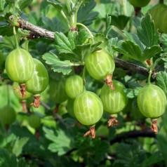 Stikkelsbærbusk Tatjana