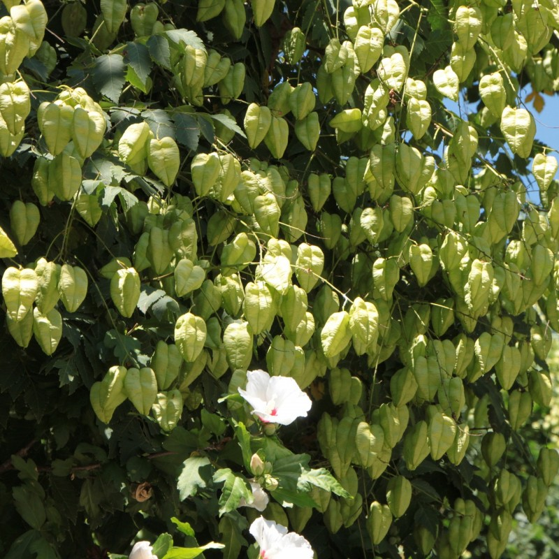 Koelreuteria paniculata / Kinesertræ