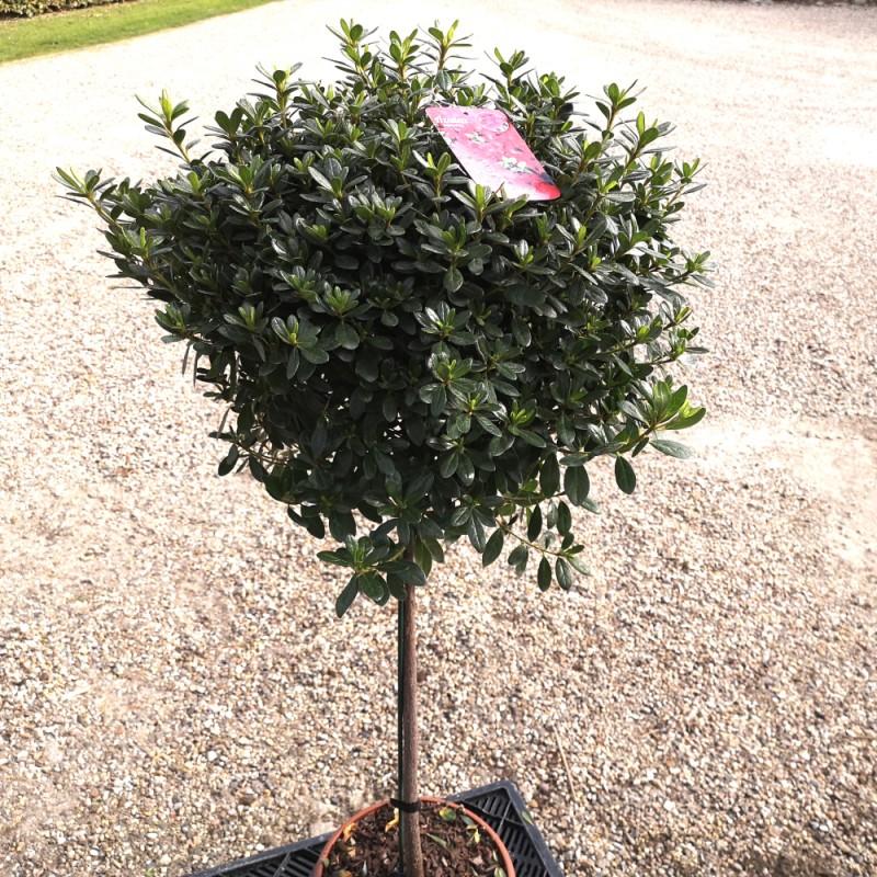 Rhododendron Aladdin - Japansk Azalea / 60 cm. stamme.
