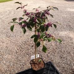 Callicarpa bodinieri Profusion - Glasbær / 60 cm. stamme