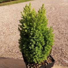 Chamaecyparis lawsoniana Ellwoods Gold - Cypres