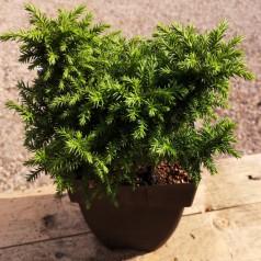 Cryptomeria japonica Vilmoriniana - Kryptomeria