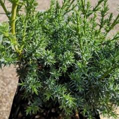 Juniperus chinensis Blue Alps - Kinesisk Ene / 20-30 cm.
