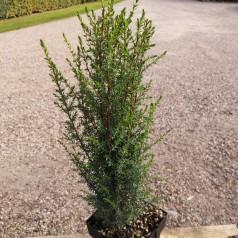 Juniperus communis Arnold - Søjleenebær