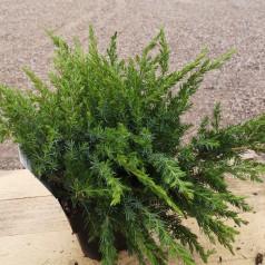 Juniperus conferta Schlager / Langnålet Enebær