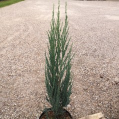 Juniperus virginiana Blue Arrow - Søjleene / 50-60 cm.