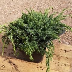 Juniperus squamata Blue Carpet - Blå krybende Enebær