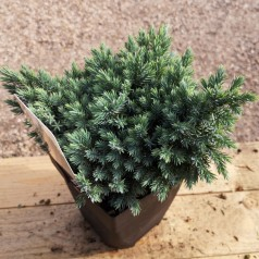 Juniperus squamata Blue Star - Pindsvinegran