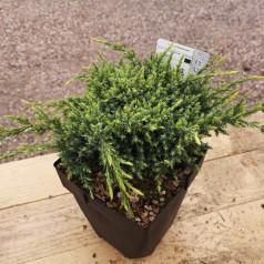 Juniperus squamata Holger - Enebær