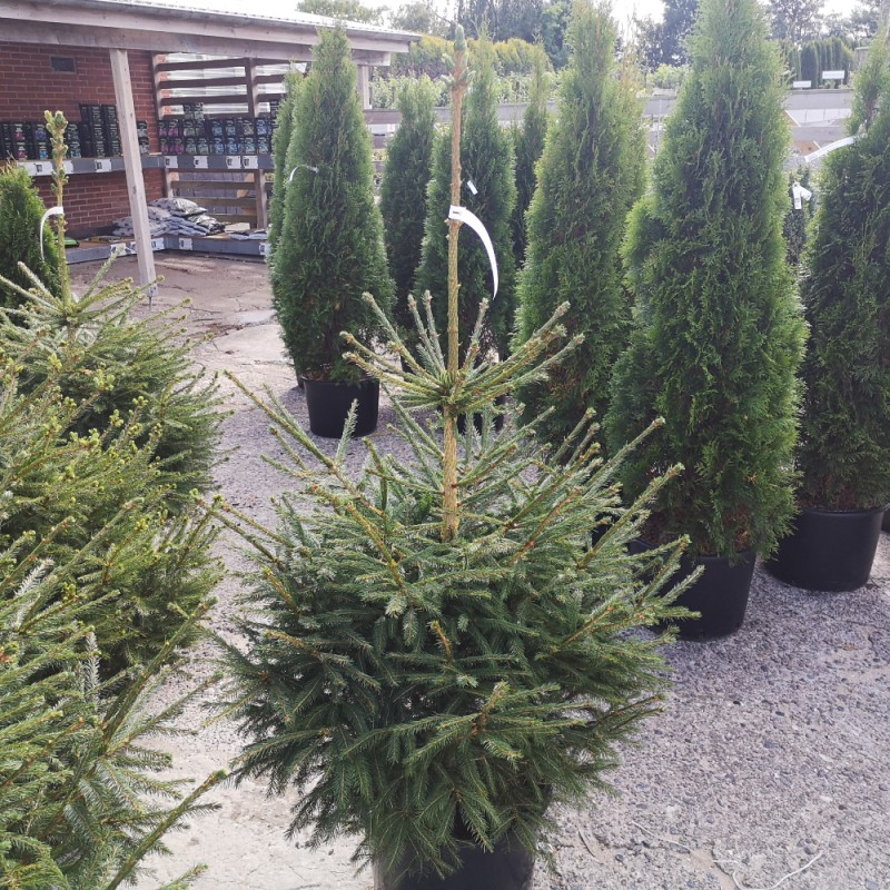 Picea abies - Rødgran / 100-125 cm.
