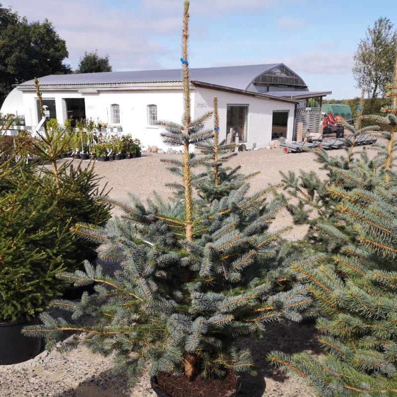 Picea pungens Glauca - Blågran / 100-125 cm.
