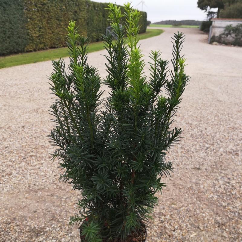 Taxus media Hicksii - Taks / 40-50 cm.