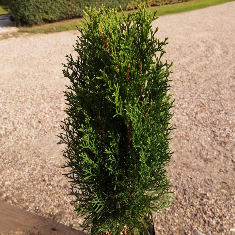 Thuja occidentalis Smaragd