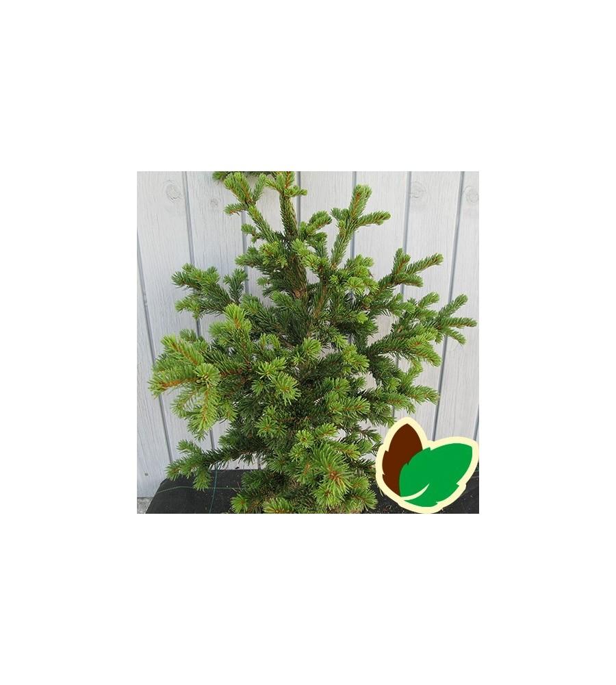 Picea pungens Lucky Strike - Dværg Blågran / 20-30 cm.