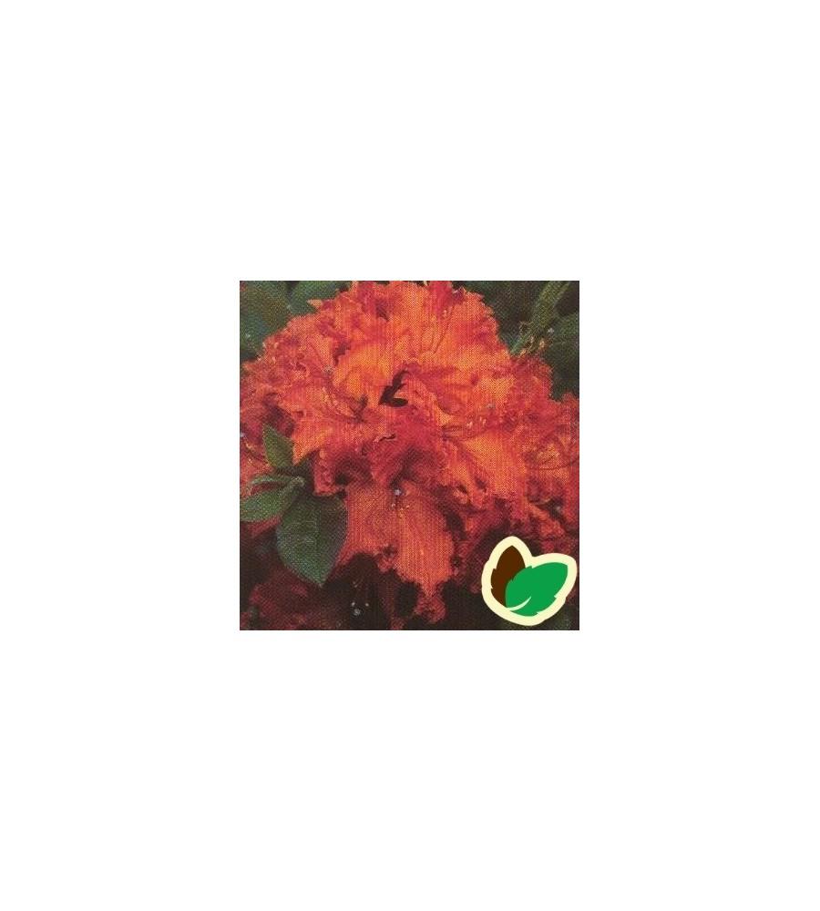 Rhododendron knaphill Glowing Embers - Haveazalea