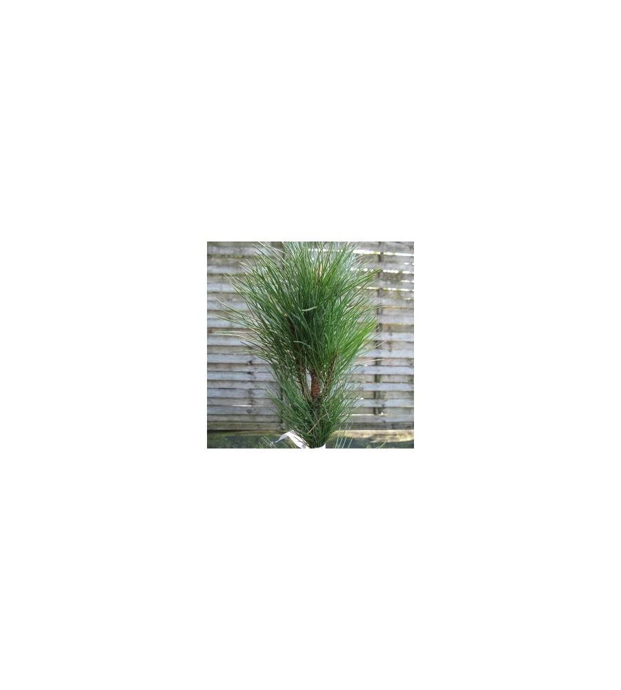 Pinus nigra Fastigiata - Søjle Østriskfyr / 30-40 cm.
