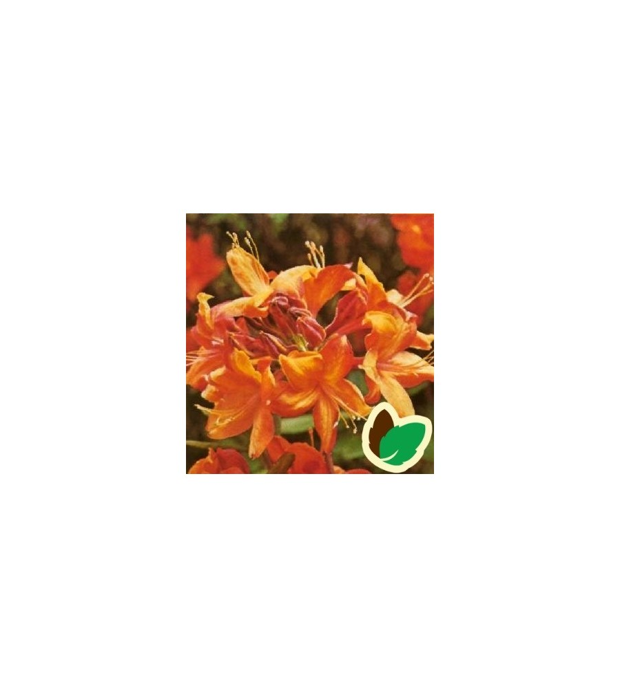 Rhododendron knaphill Golden Eagle - Haveazalea