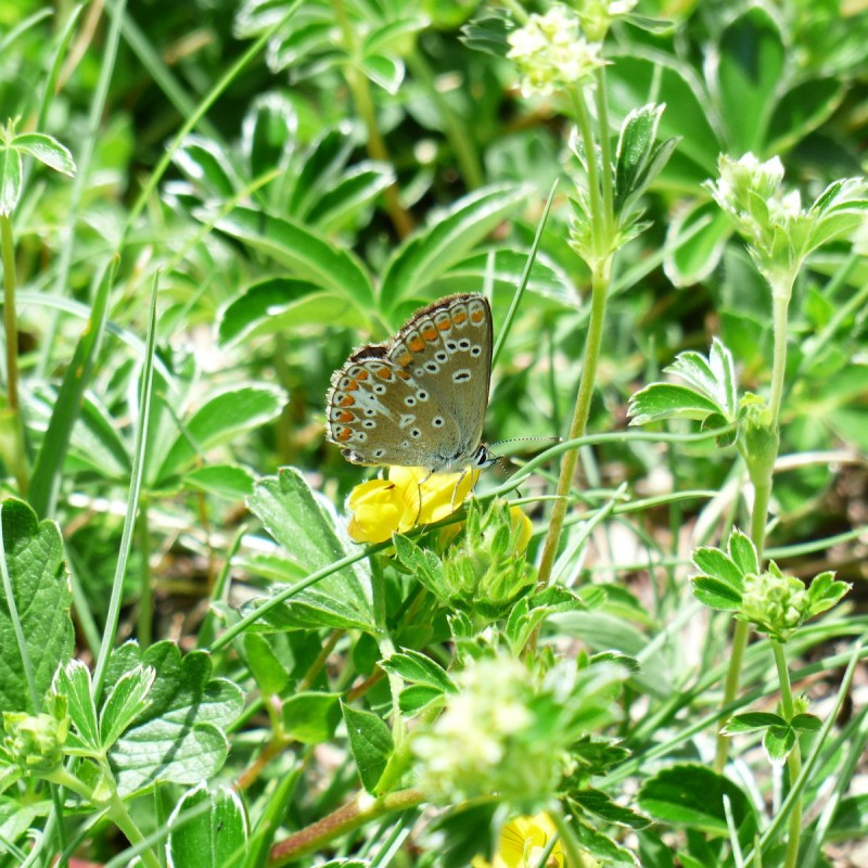 Alchemilla alpina / Løvefod