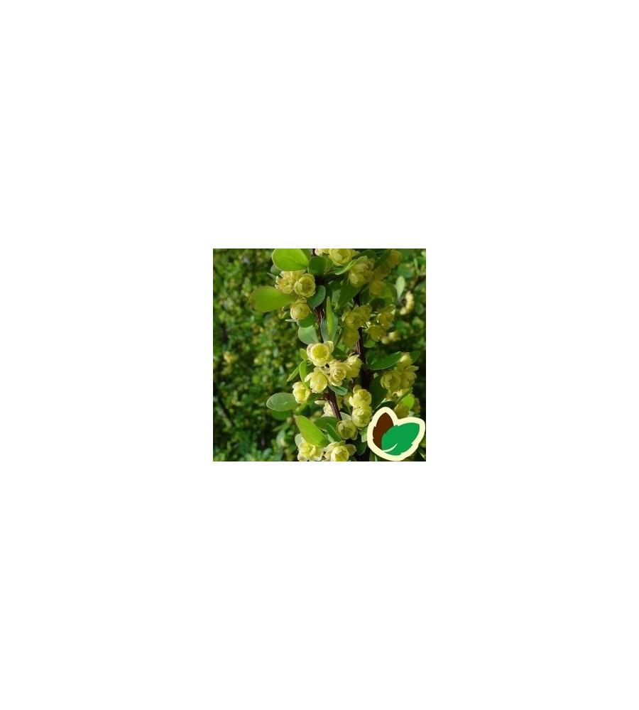 Berberis 30-50 cm. - Bundt med 25 stk. barrodsplanter - Berberis thunbergii