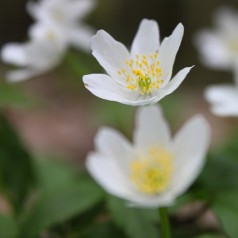 Anemone sylvestris - Anemone