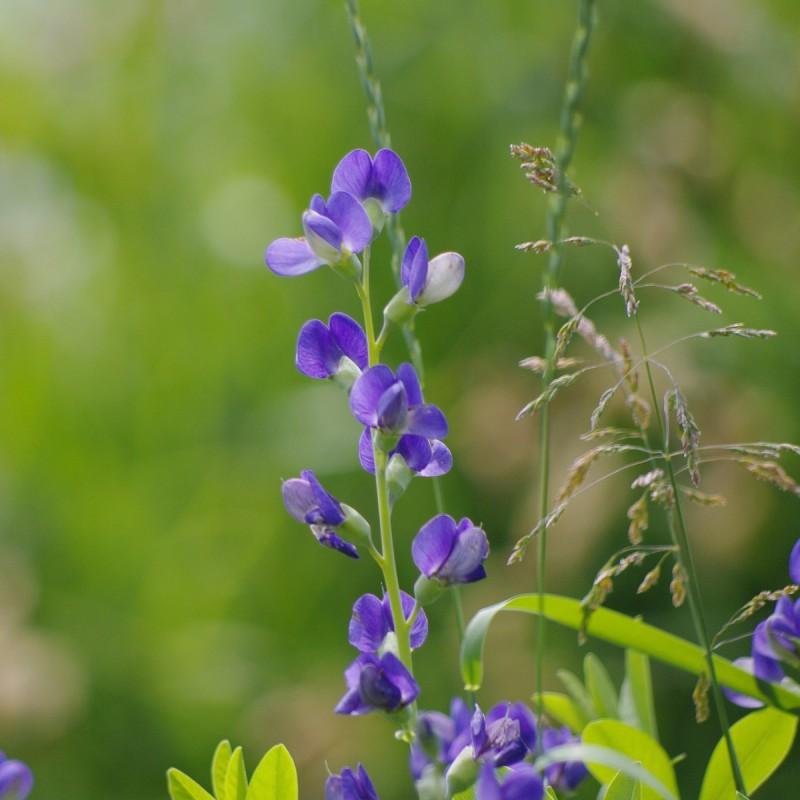 Baptisia australis / Farvebælg