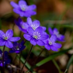 Hepatica nobilis / Blå Anemone