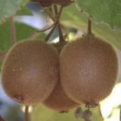 Kiwi Solo - Actinidia chinensis Solo
