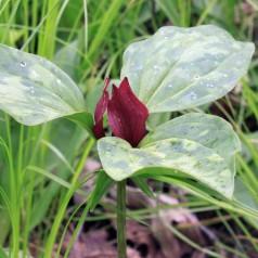 Trillium erectum / Treblad