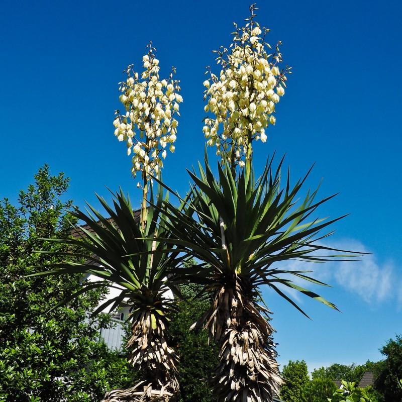 Yucca filamentosa / Palmelilje