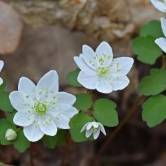 Anemonella thalictroides - Rudeanemone
