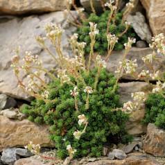 Saxifraga paniculata - Stenbræk