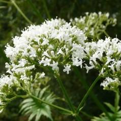 Valeriana officinalis - Læge Baldrian