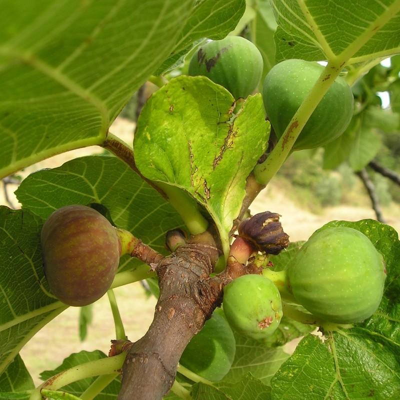 Gudhjem Bornholmsk Figen - Ficus carica Gudhjem