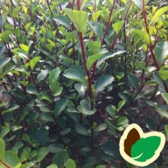Populus simonii Fastigiata - Småbladet Pyramidepoppel / 10 stk. 60-100 cm. barrods - S