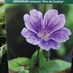 Geranium nodosum Clos de Coudray - Storkenæb