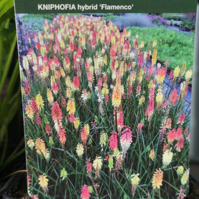 Kniphofia hybrid Flamenco - Raketblomst