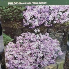 Phlox divaricata Blue Moon - Pudefloks
