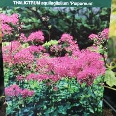 Thalictrum aquilegifolium Purpureum / Akelejefrøstjerne